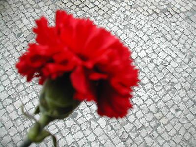 carnation001